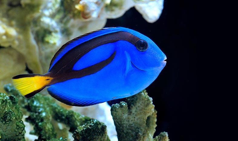 Come alla ricerca di dory potrebbe influenzare un ecosistema for Comprare pesci online