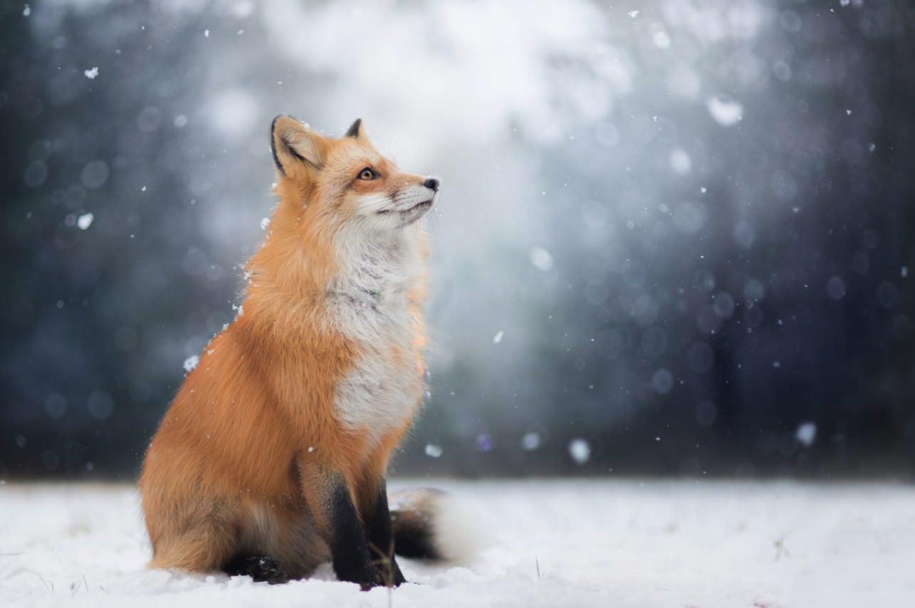 Ritratti di una volpe