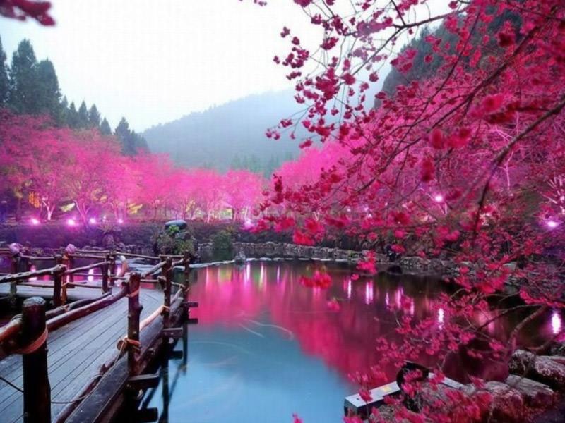 Ciliegi in fiore, Tokyo.