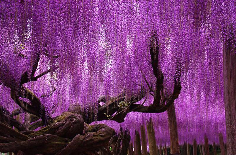 Il Glicine di Ashikaga, Giappone