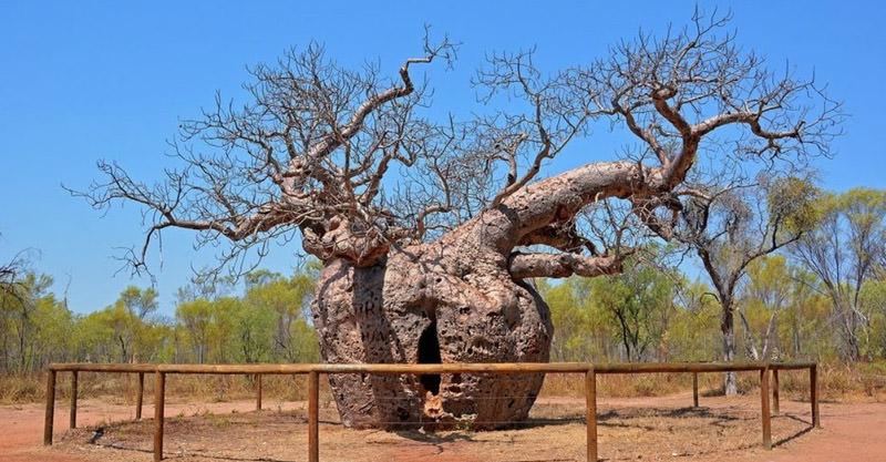 Il Baoab Prison Tree, Australia