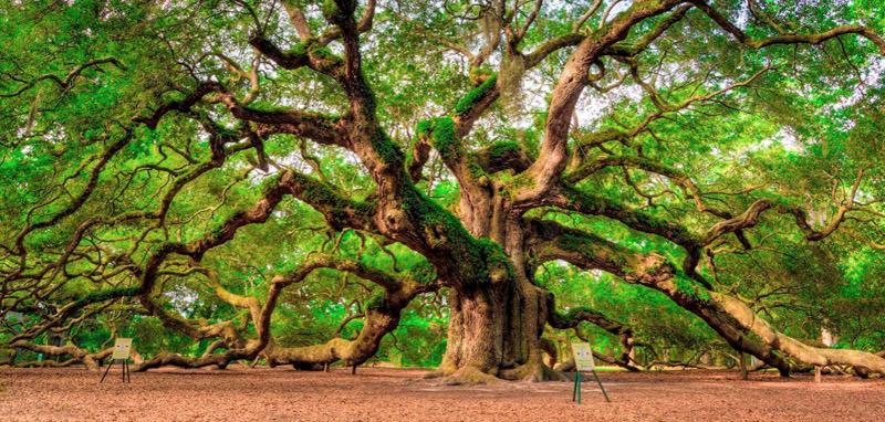 La Quercia dell'Angelo a Charleston, Sud Carolina