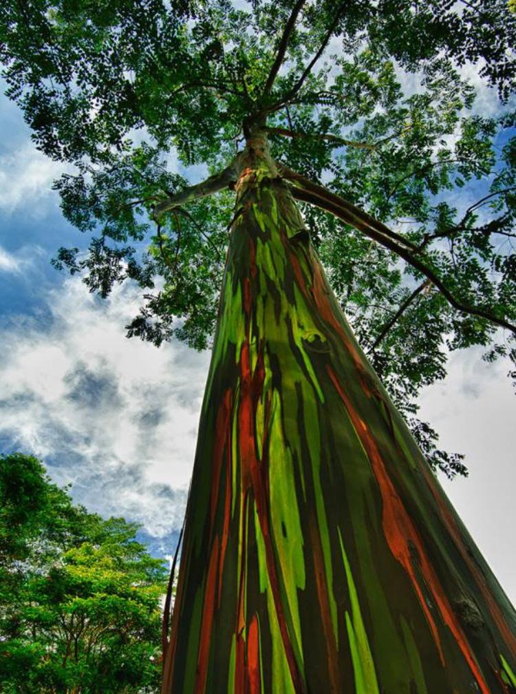 Eucalipto Arcobaleno, Hawaii