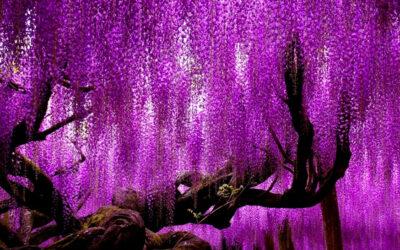Gli alberi più maestosi e affascinanti al mondo