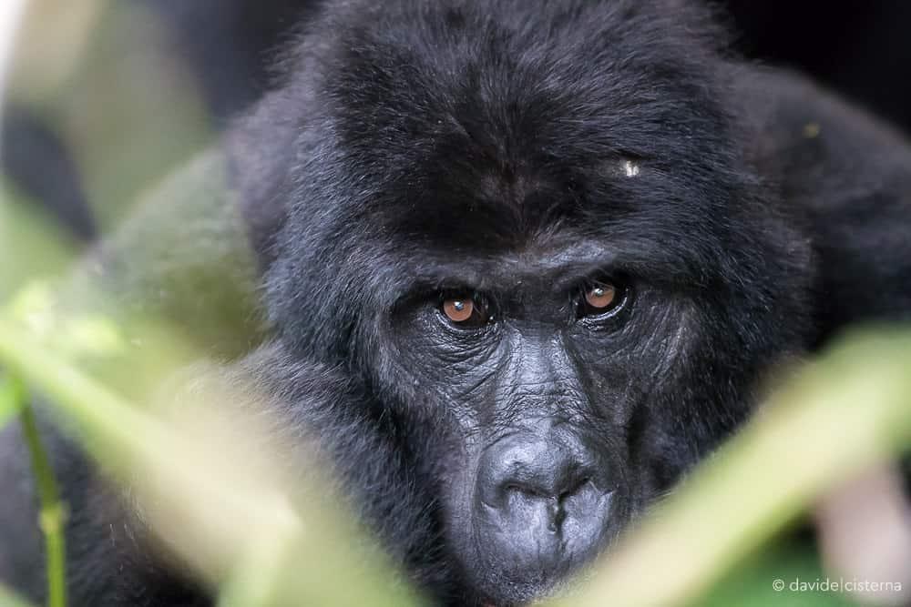 davide-cisterna-gorilla-uganda-10