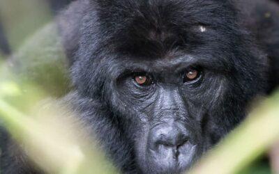 Gli ultimi gorilla di montagna dell'Uganda fotografati da Davide Cisterna
