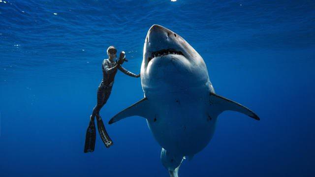 più grande squalo bianco