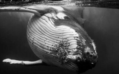 Immense megattere fotografate da Jem Cresswellin bianco e nero
