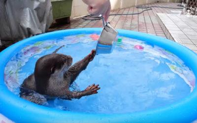 Una lontra addomesticata e divertita