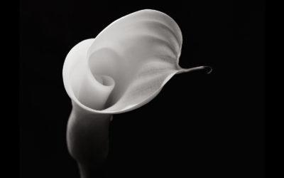 La sensualità dei fiori negli scatti di Robert Mapplethorpe